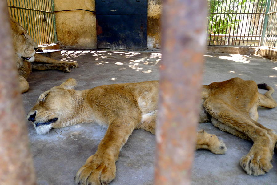 Lioness from Alexander zoo in the later stages of a fatal illness. Several other of the 32 lions kept at the zoo are also alleged to also be suffering from disease but officials refuse to discuss the subject Khaled Elbarky