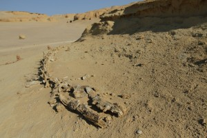 Fossilised whale skeletons, Wadi Al Hittan, Fayoum Governorate Rachel Adams / DNE
