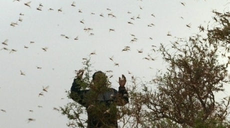 Swarms of locusts originating from the winter breading areas on the Red Sea coastal plains and subcoastal areas in northeast Sudan and southeast Egypt, threaten Egyptian crops (AFP Photo)