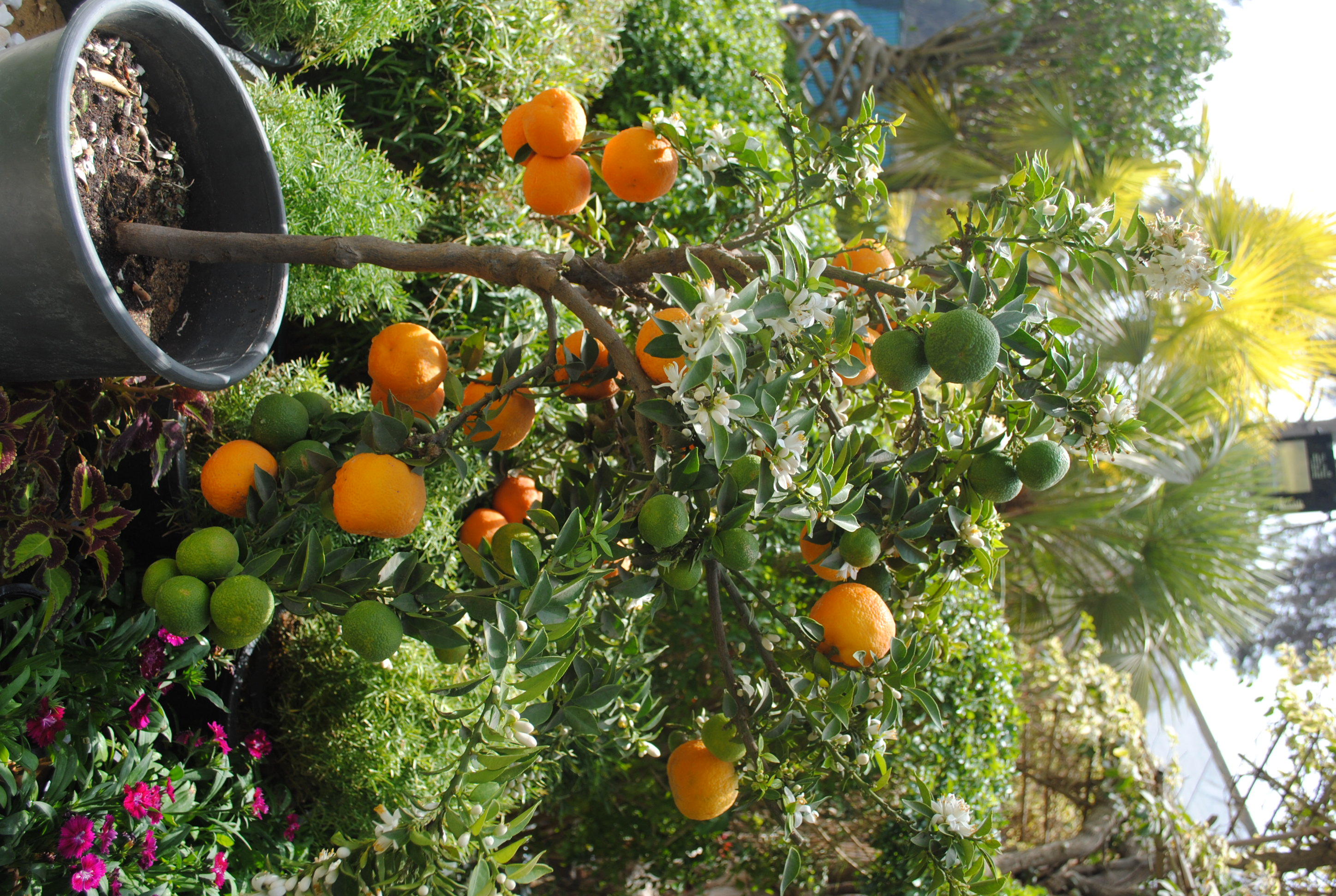 A new hybrid orange tree that can be grown in a pot and offers oranges eight months a year (Photo by Abdel-Rahman Sherief)