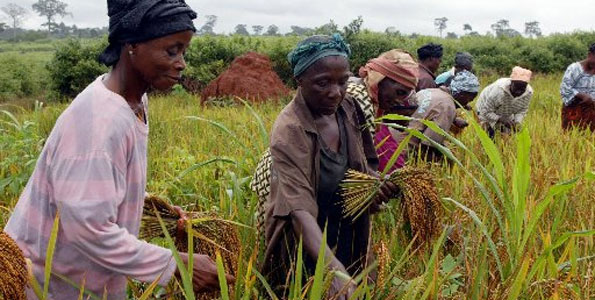 Women harvesting rice (AFP File Photo)