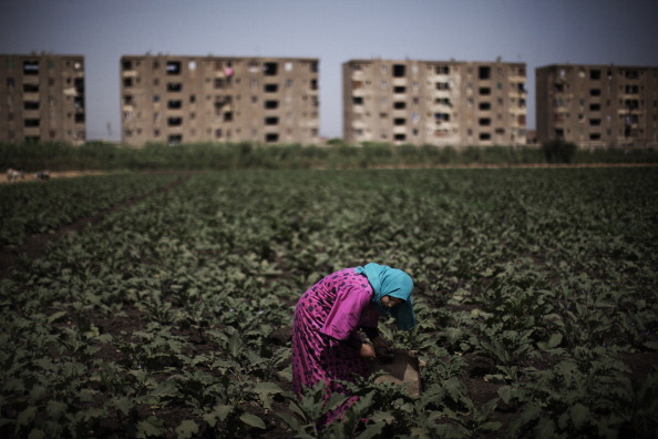 An Egyptian farmer works in a field in the fertile Egyptian Delta region of Menufiya, (AFP PHOTO/MARCO LONGARI)
