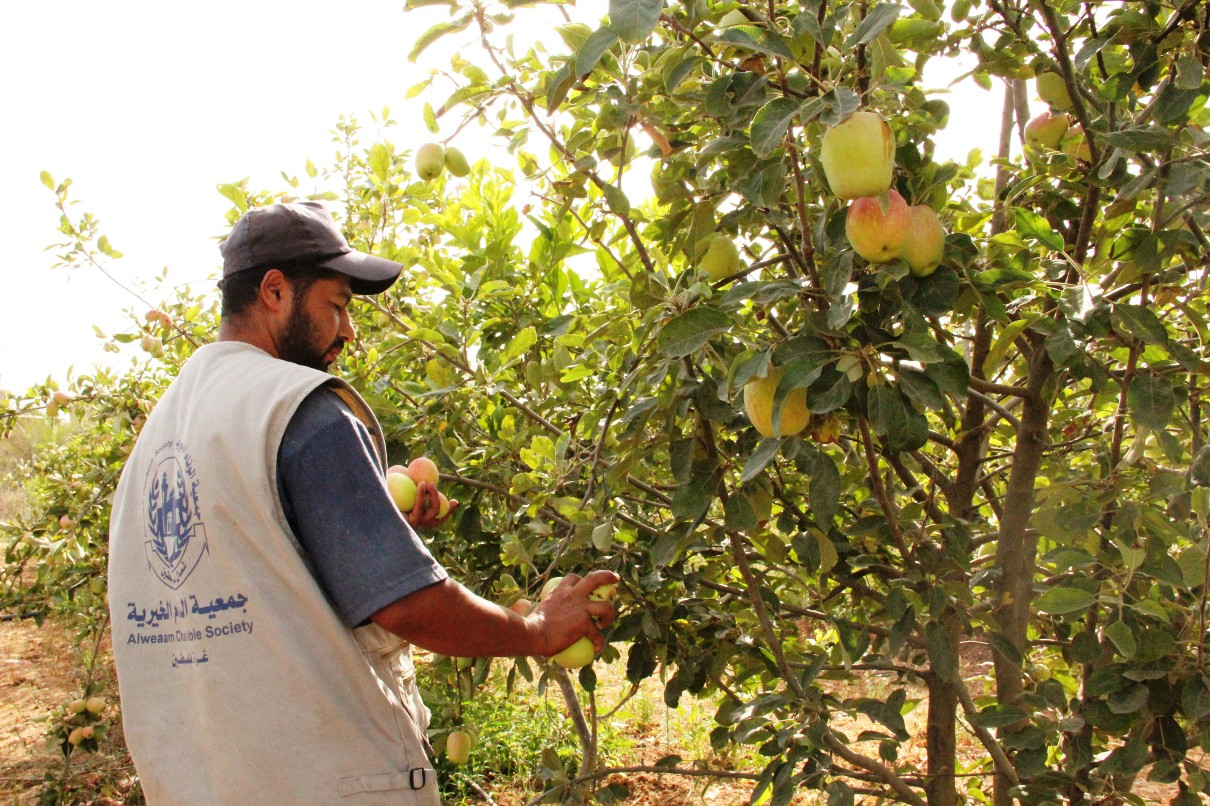 Alwea'am charitable society sponsors agriculture projects that benefit the people of the Gaza Strip (Photo from Alwea'am charitable society)