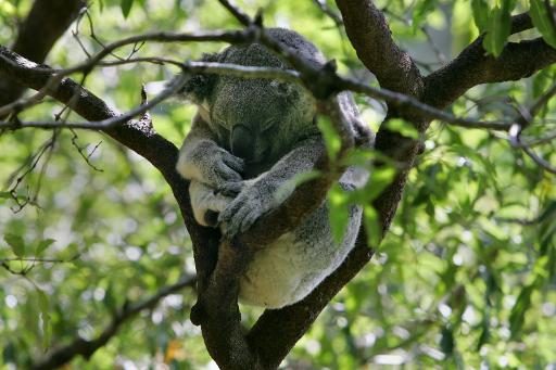 A koala sleeps in a eucalyptus tree at Sydney's Taranga Zoo, 27 March 2007 (AFP/File, Anoek de Groot)