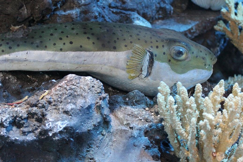 Mummified rabbit fish in Professor Gohar's museum. (Photo by Aya Nader)