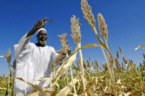 Harvesting sorghum in Sudan: By investing in labour-intensive sectors like agriculture and agro-industries, African countries could better tap the potential of their large work forces, says the UN Economic Commission for Africa. (Photograph: UN / Fred Noy)