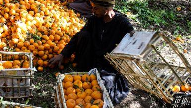 A man sitting near mandarin fruits , in Egypt farm, by doaa nasr5