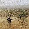 Farmer trying to fight desert locusts in his field in Kenya