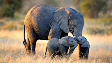 Africa's elephant population stood at about 415, 000 in 2019 while nearly 15,000 die annually due to poaching and natural causes