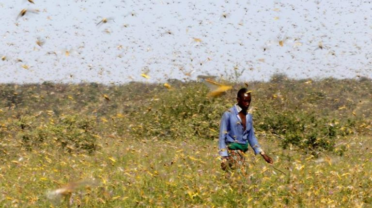Large swarms of desert locusts have been invading Kenya and Ethiopia
