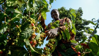 Coffee farmer in Africa, as the continent agriculture sector struggles Daily News Egypt