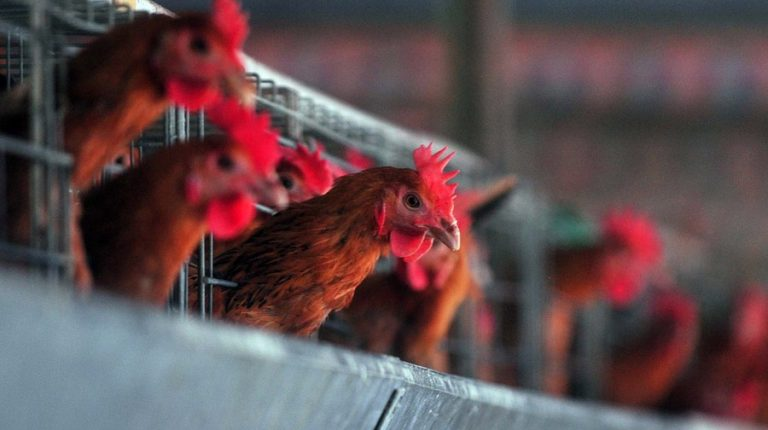 How big a threat would the reassortant bird flu virus (H5N8) pose to human beings? Is a new bird flu pandemic on the way?