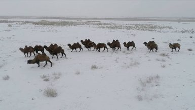 Camel breeding helps Kazakh herdsmen shake off poverty in Xinjiang