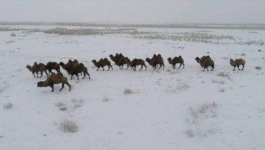Camel breeding helps Kazakh herdsmen shake off poverty in Xinjiang
