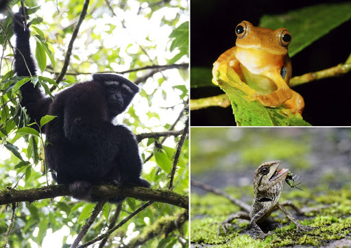 """Undated combo photo shows a """"Skywalker gibbon"""" (L), a red-webbed tree frog (R, top) and a kind of wild tree lizard (R, bottom) in a biodiversity hotspot in Gaoligong Mountain National Nature Reserve, southwest China's Yunnan Province"""
