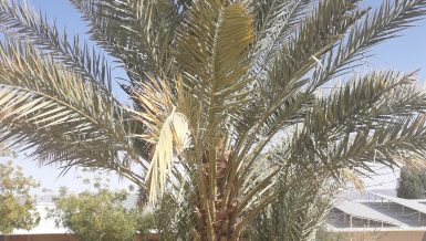 Researchers sequence genome of extinct 2,000 year old date palms