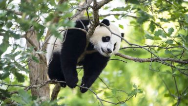 Panda cub in Washington ready to welcome visitors as national zoo set for phased reopening
