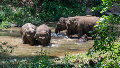 Wandering elephants spotted flapping ears during sleep